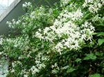 Japanese Clematis