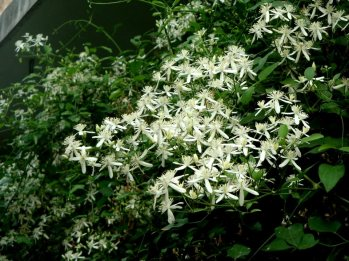 Japanaese Clematis 5