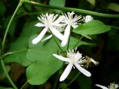 Japanese Clematis 1