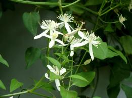 Japanese Clematis 3