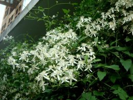 Japanese Clematis 4