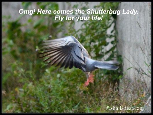 bird-FF-pigeon