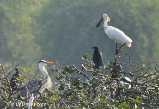 Grey Heron, Cormorant and Spoonbill