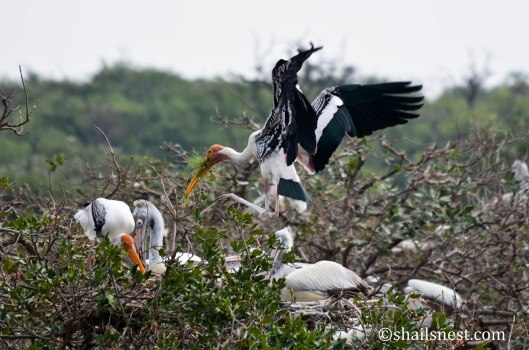 Painted Stork with building material for nest