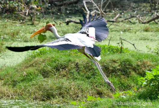 Painted Stork carrying leaves in beak
