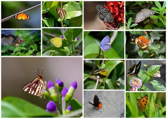1-Butterflies
