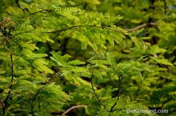 Tamarind leaves