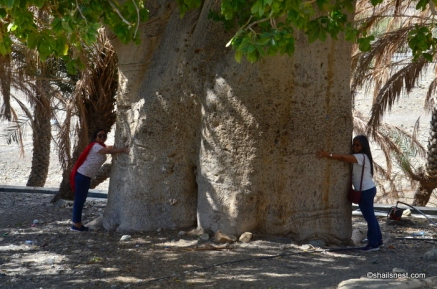 Measuring the girth of the baobab tree