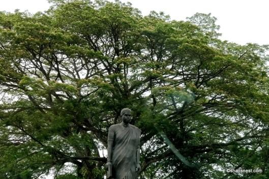 Rain tree IMG_20180418_121509-001