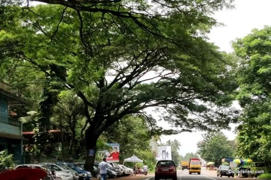 Rain tree IMG_20180803_115129