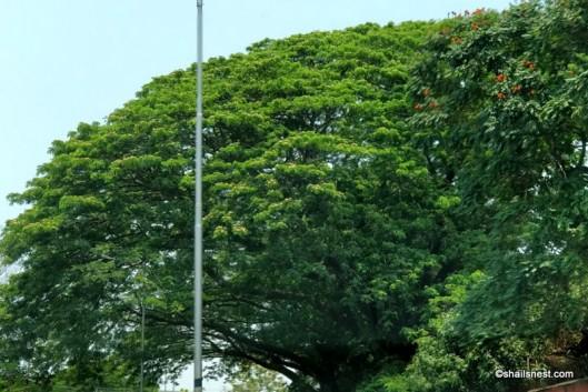 rain trees IMG_20180401_123930