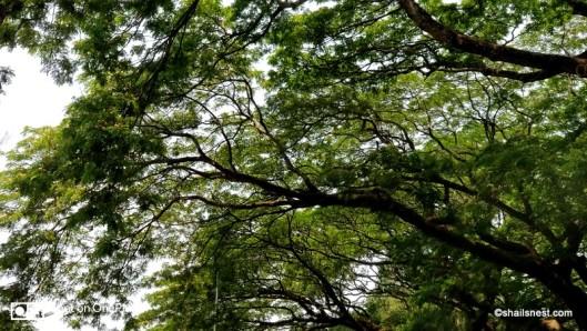 Rain trees IMG_20180401_123936