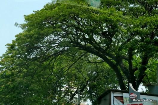 Rain trees IMG_20180401_124009