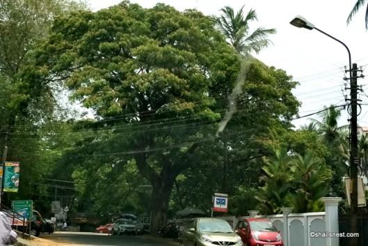rain treesIMG_20180404_121411-001